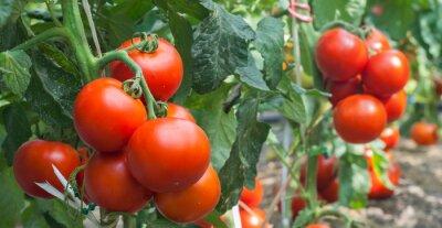 Fototapete Growth tomato