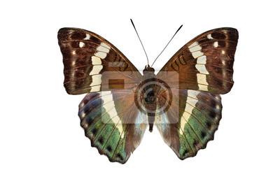 grün Schmetterling (Euthalia franciae, Französisch Duke) Isolierte