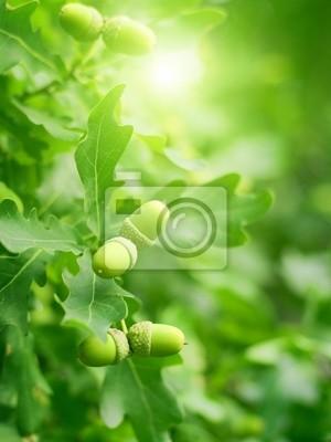 Grüne Eichenlaub und Eicheln