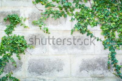 Fototapete Grüne Kriechpflanze-Anlage auf einem weißen Wand-schönen Hintergrund