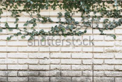 Fototapete Grüne Kriechpflanze-Anlage, die auf alter Backsteinmauer wächst