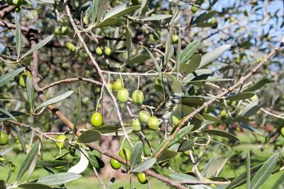 gr ne oliven in einem olivenbaumzweig olivenbaum mit gr nen fototapete fototapeten. Black Bedroom Furniture Sets. Home Design Ideas