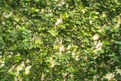 Fototapete Grüne Wand des Blattes für Hintergrund