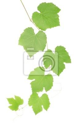 Grüne Weinblätter isoliert auf weiß, Clipping-Pfad enthalten