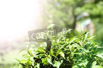 Fototapete Grüner Tee Busch mit frischen Blättern, im Freien