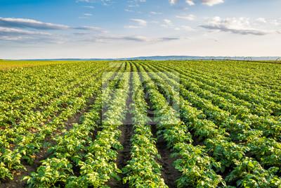 Fototapete Grünes Feld der Kartoffelkulturen in einer Reihe