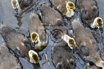 low priced 53100 153b3 Fototapete: Gruppe von baby-gänse