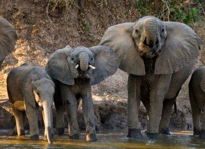 Fototapete Gruppe von Elefanten in der Nähe des Wassers. Sambia. Unteren Zambezi Nationalpark. Zambezi River. Eine ausgezeichnete Illustration.