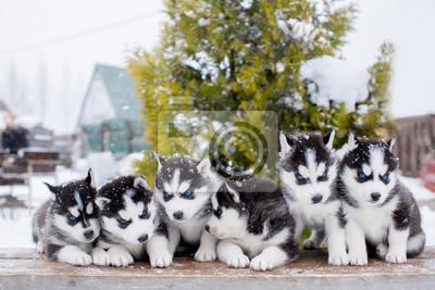 Kleiner Husky Kühlschrank : Gruppe von sechs kleinen husky welpen blaue augen fototapete