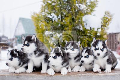 Kleiner Husky Kühlschrank : Gruppe von sechs kleinen husky welpen im schnee blaue augen