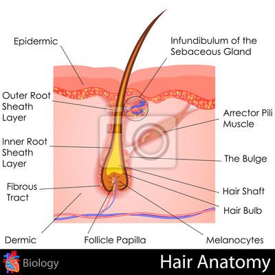 Haar-anatomie fototapete • fototapeten Talg-, Haarpflege, Pore ...