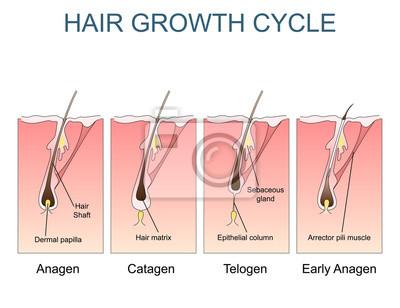 Haarwachstum zyklus gekennzeichnet abbildung fototapete ...