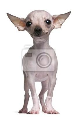 Hairless Chihuahua 5 Monate Alt Stehend Fototapete Fototapeten