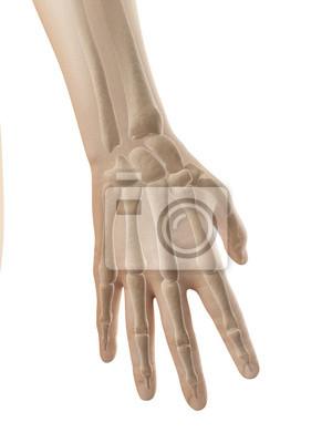Hand anatomie - knochen der hand und der finger fototapete ...