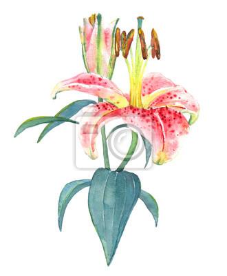 Hand bemalt illustration einer rosa lilie. bunte aquarell exotische ...