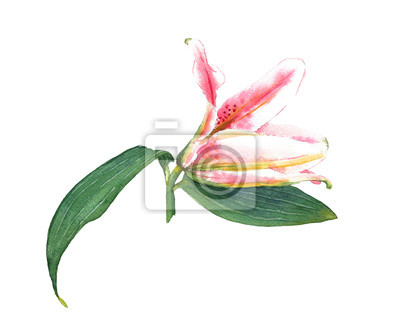 Handgemalte ausbau rosa lilie. bunte aquarellillustration exotische ...