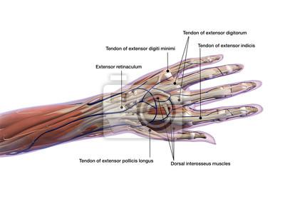 Handmarkierte sehnen und muskel-anatomie-rückenansicht auf weiß ...