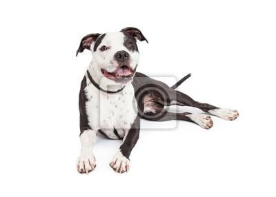 Fototapete Happy Pit Bull Dog Laying