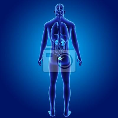 Harnwege mit organen nach hinten fototapete • fototapeten Urologie ...