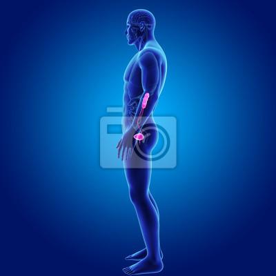 Harnwege mit organen seitenansicht fototapete • fototapeten Urologie ...