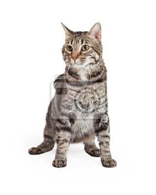 Fototapete Hauskatze Kurzhaar-Katze sitzen