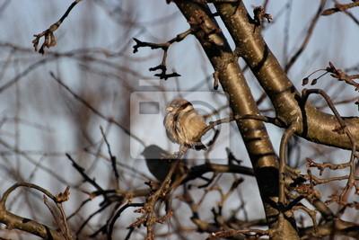Haussperling auf einem Zweig sitzend an einem kalten Tag