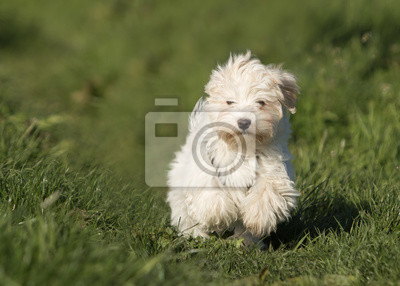 Fototapete Havaneser Hund Welpe Auf Der Wiese
