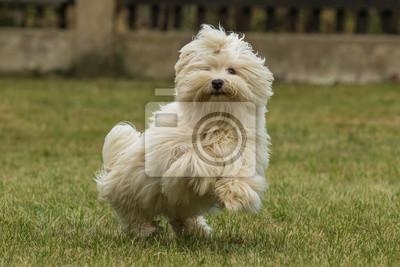 Fototapete Havaneser Hund Welpe Spielt Auf Der Wiese