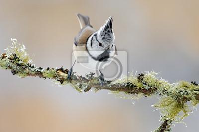 Hawk Owl Mit Fang Braun Maus Im Winter Mit Schneeflocke Wildlife