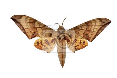 Hawkmoth Schmetterling isoliert