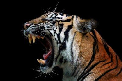 Fototapete Head of sumateran tiger