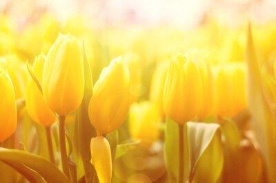 Fototapete Heller Blumenhintergrund mit gelben Tulpen und Sonnenlicht-Effekt