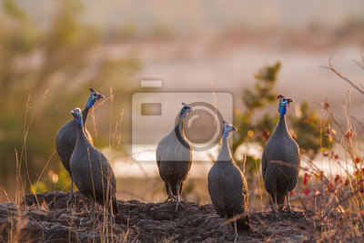 Helmeted guineafowl in Kruger National park, South Africa ; Specie Numida meleagris family of Numididae