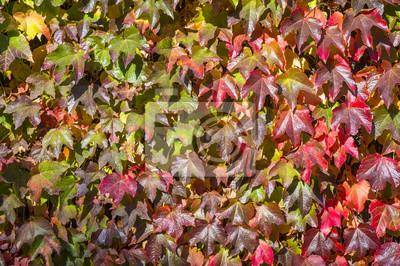 Herbst Hintergrund Der Efeu Wand Mit Blattern Andern Farbe Von