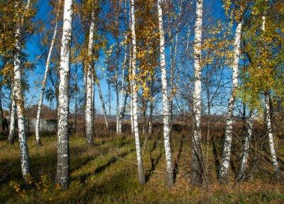 Fototapete Herbstlandschaft mit Birken
