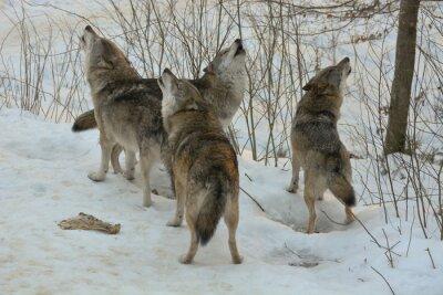 Fototapete Heulende Wölfe