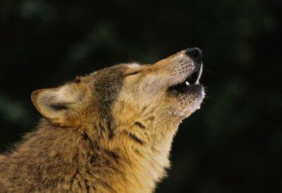 Fototapete Heulender Wolf Portrait