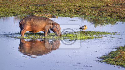 Hippopotamus im Krüger Nationalpark, Südafrika