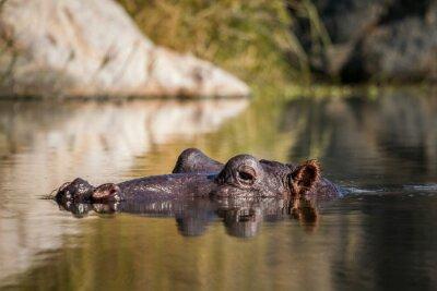 Hippopotamus in Kruger National park, South Africa