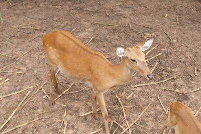 Hirsche sind Pflanzenfresser und braune Augen funkelnd.