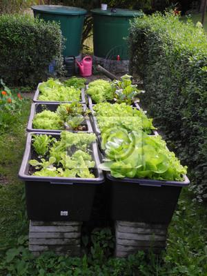 Hochbeet Mit Salat Fototapete Fototapeten Blattgemuse