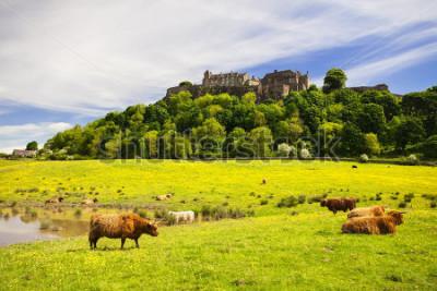 Fototapete Hochlandkuh vor Stirling Castle. Typische schottische Hochlandkuh. Stirling, Schottland, Vereinigtes Königreich