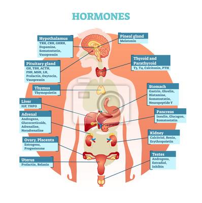 Hormonvektorillustrationsdiagramm des menschlichen körpers, sammlung ...