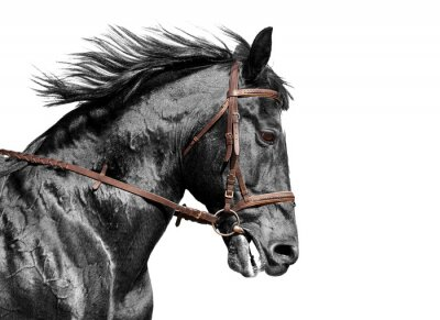 Fototapete Horse portrait in black and white in the brown bridle