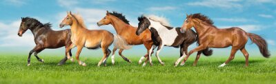 Fototapete Horses free run gallop i green field with blue sky behind