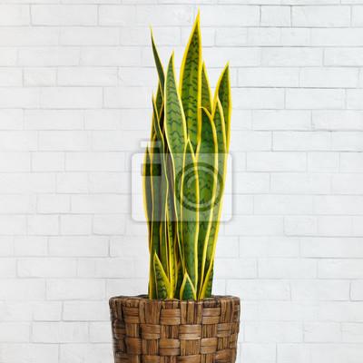 Fototapete Houseplant snake plant in diy brown pot, crop