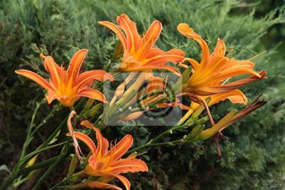 Hübsche Lilien Im Garten Fototapete Fototapeten Farbbild Lilie
