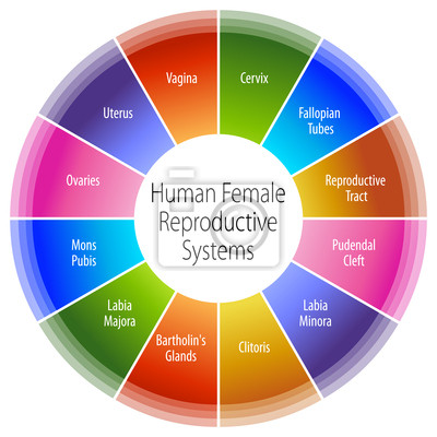 Human female reproductive systeme diagramm fototapete • fototapeten ...