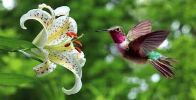 Fototapete Hummingbird schweben neben Lily Blumen Panoramablick