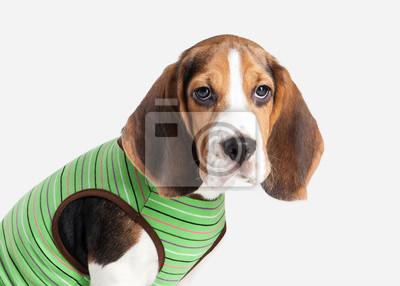 Fototapete Hund Beagle Welpen Porträt Auf Einem Weißen Hintergrund